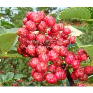 大红袍花椒种子价格,新产一级良种,提供育苗栽培技术