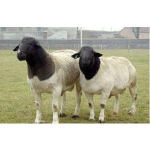 潍坊价位合理的杜泊羊哪里有供应——杜泊羊养殖基地