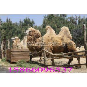 供应山东家龙骆驼出售礼仪骆驼青海骆驼双峰骆驼