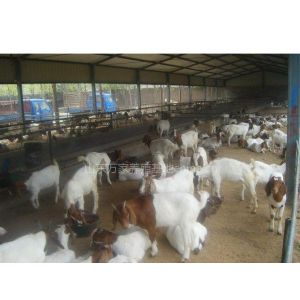 供应买羊、怎样买羊、买羊时需要注意什么