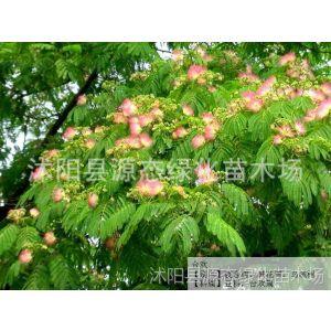 供应批发乔木树苗 合欢 绒花树 芙蓉树 合欢树苗 绿化苗木 量大优惠