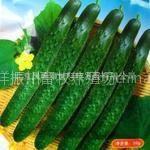 供应黄瓜种子   适合露地种植的高产、抗病品种