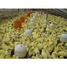 供应出售鹅苗/鸭苗/种蛋/鹅苗的价格/欣荣鹅业