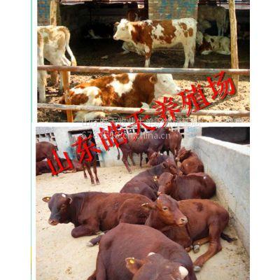供应养好肉牛,这些技巧你懂吗?山东肉牛养殖场