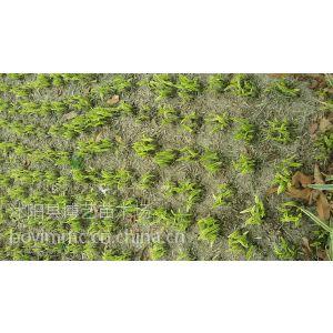 供应色泽金黄优秀的地被草坪品种金边麦冬基地金叶麦冬批发