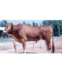 供应养牛基地长期大量供应改良肉牛 育肥牛 西门塔尔