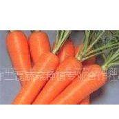 急河南通许万亩胡萝卜成熟上市