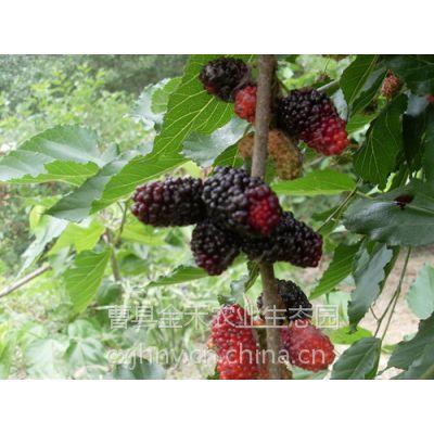 第三代保健水果——台湾四季果桑、桑葚苗
