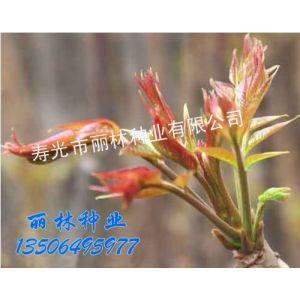 供应红油香椿种子