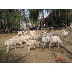 供应什么样的肉羊适合在山区养殖