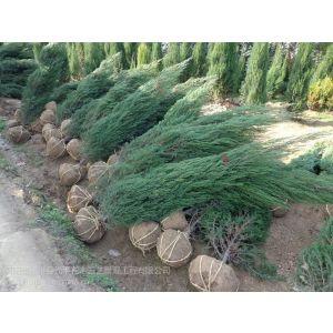 供应1.8米刺柏价格1.8米高柏树价格1.7米塔柏价格90公分刺柏种植基地低价供应1.6米高刺柏