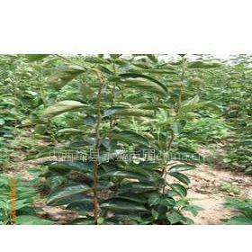 供应嫁接甜柿苗 5-10公分柿子树