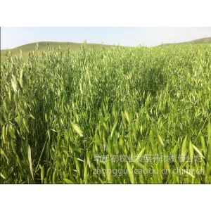 供应燕麦草|供应内蒙古优质燕麦草|价格优惠
