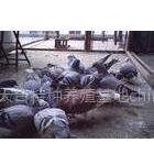 供应山东淄博鸽子养殖场泰安种鸽培育中心枣庄鸽子养殖基地