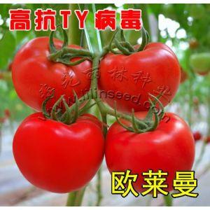 供应抗ty病毒大红番茄种子-的大红番茄种子-欧莱曼