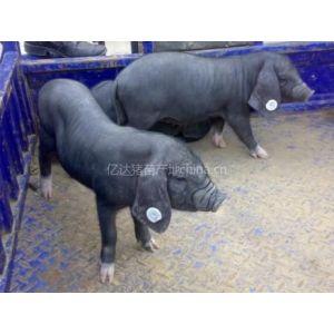 低价出售纯种太湖小母猪