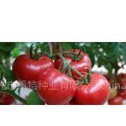 优质番茄种子大全 的抗TY番茄种子 您需要的番茄种子【凯特种业(粉迪尼217)】