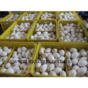 供应辽宁供应新鲜鹅蛋、商品鹅蛋