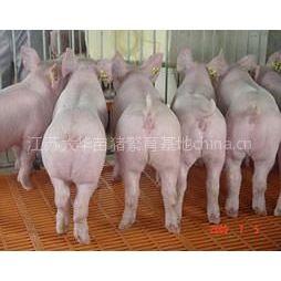 供应低价一批苗猪出售13401878318