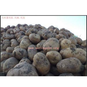 供应大量淀粉厂用小土豆,每天3-5挂车,绥化地区