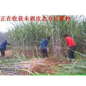 供应北方甘蔗种甘蔗苗