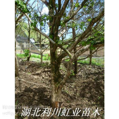 供应供应利川绿化用高山小叶黄杨雕刻用黄杨原木