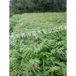 供应香椿苗种子、香椿苗种植、出售香椿苗、香椿苗价格
