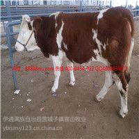 供应东北牛 黄牛价格 种牛的价格