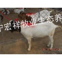 供应山东什么肉羊养殖场***著名,波尔山羊现在的市场价格是多少钱一斤