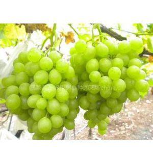 供应贵公子葡萄苗价格低品种纯13933549660
