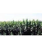 供应出售杨树苗。插穗。柳树苗各种苗木