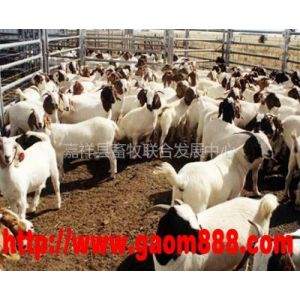 供应怀孕的波尔山羊多少钱一只,哪里有卖波尔山羊的