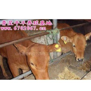 供应鲁西黄牛|肉牛养殖利润分析|肉牛养殖场