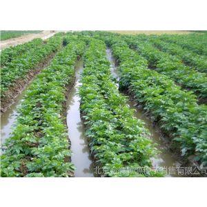 供应土豆种子种子种植技术春季有机土豆种植七大秘诀