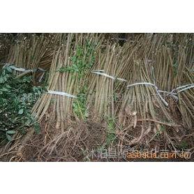 供应杂交马褂木、银柳、水杉、银杏、垂柳等苗木
