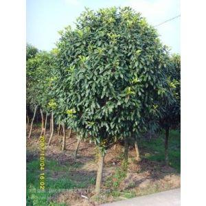 供应棕榈树河南省棕榈价格棕榈苗出售1米高棕榈价格1.5米高棕榈价格1.8米棕榈价格