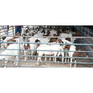 供应广东波尔山羊养殖场 波尔山羊价格
