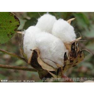 供应脱毒一级棉花种子种植技术技巧