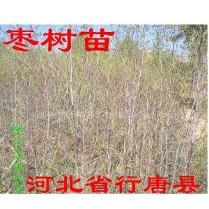 供应枣树苗嫁接枣树苗大规格枣树