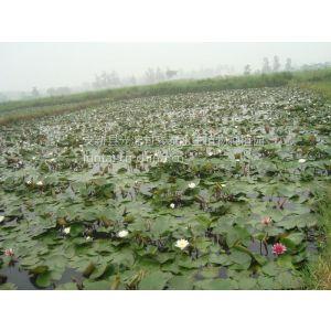 全国的睡莲基地耐寒苗种苗和大量东北耐寒荷花种苗苗品种观赏哪个好