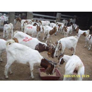 供应肉羊品种,波尔山羊价格