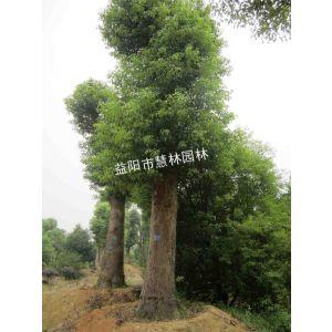 供应供应40公分大冠移植香樟益阳市慧林园林