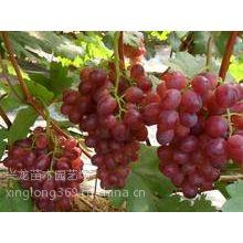 供应新品种红巴拉多,黑色甜菜,阳光玫瑰,黑巴拉多,早生内玛斯葡萄苗