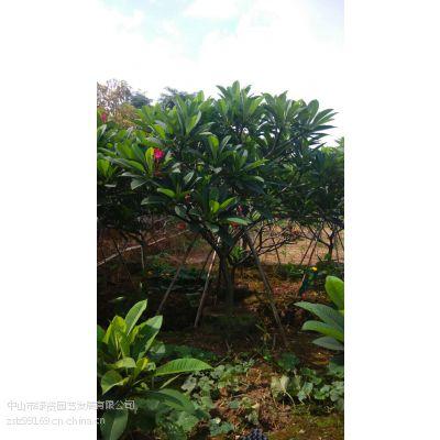 供应中山绿资园艺供应,乔木、灌木、地被、藤本植物、水生植物、棕榈科、竹类、时花类、、欢迎来电咨询!