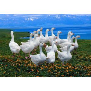 供应鹅苗孵化场出售莱茵鹅鹅苗