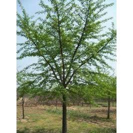 10公分银杏树,15公分银杏树,20公分银杏树,2