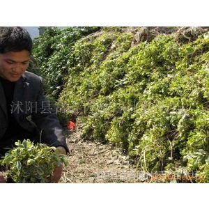 供应千种绿化苗木-乔木、花灌木、观赏竹、绿篱类等