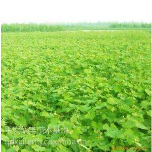 供应早熟葡萄苗基地 早熟葡萄苗价格 早熟葡萄苗品种