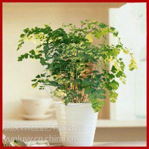 供应武汉供应吸甲醛的盆栽植物