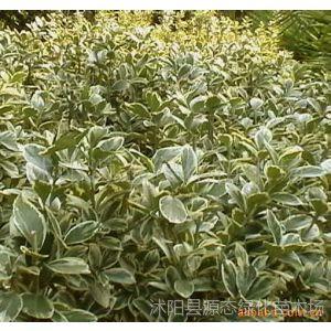 供应绿化苗木-黄杨、大叶女贞、棕榈、剑麻、国槐